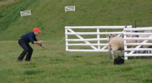 Nigel Watkins penning sheep in the International Supreme Final in 2017