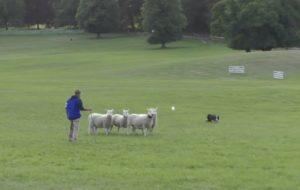 Nigel Watkins Shedding sheep with Jodi