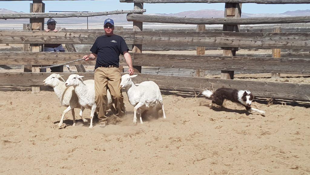 Sheepdog trial in Nevada