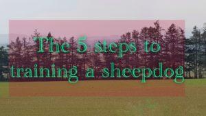 5 steps to training a sheepdog